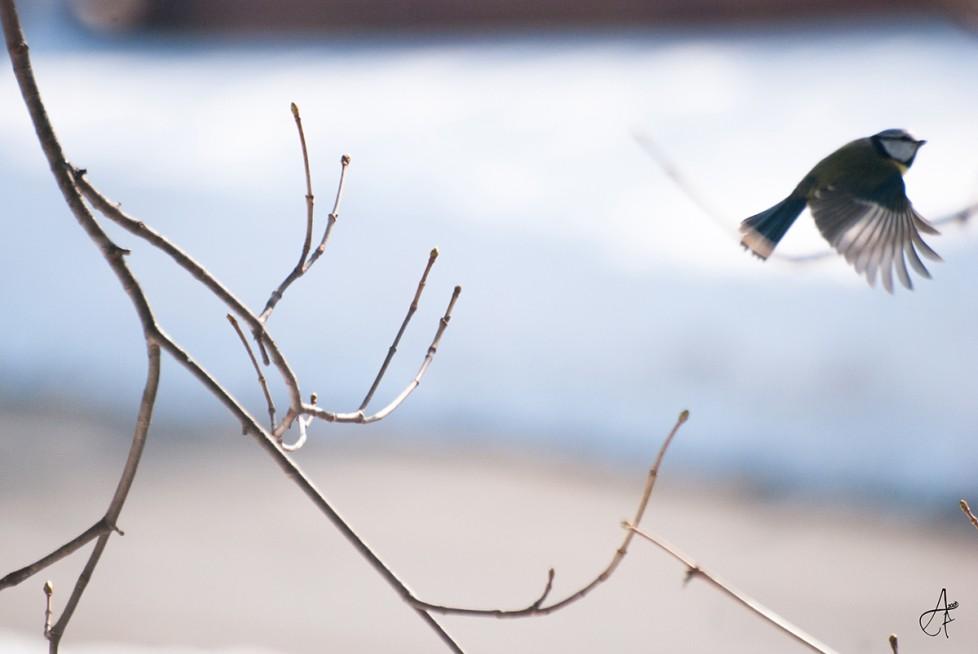"""""""L'oiseau qui vole n'a pas de maître."""" Photo réalisé un Hiver en Haute Savoie. Une jolie Mésange qui prend son envole."""